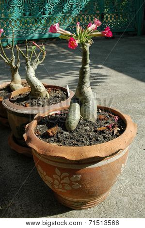 Adenium in Terra Cotta Pots