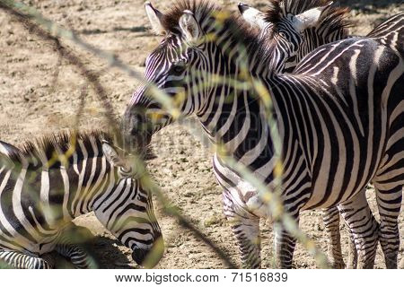 Equus Quagga, Common Zebra - Head Shot
