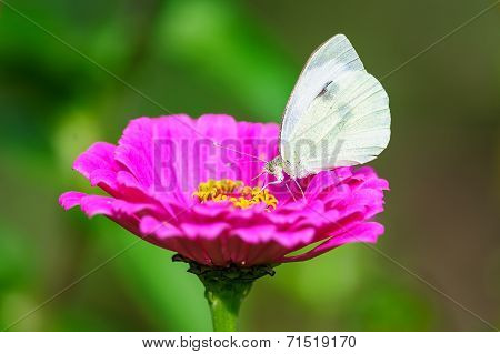 White Butterfly From Side On Flower Blossom