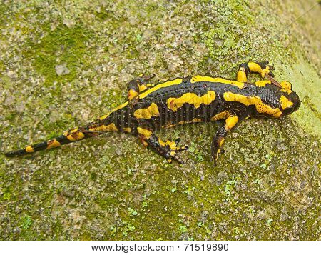 A Yellow And Black Salamander