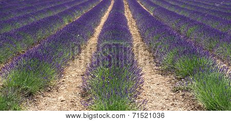 Fresh Lavender Flowers. Valensole, Provence, France