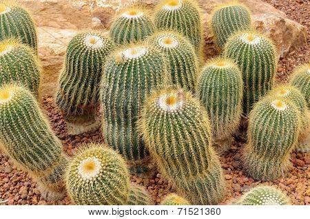 Parodia Claviceps Spegazz Cactaceae
