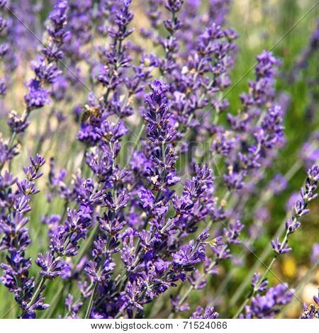 Nature Background With Blooming Lavender Flowers