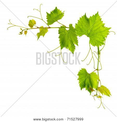 Grapevine Leaves Border Isolated On White