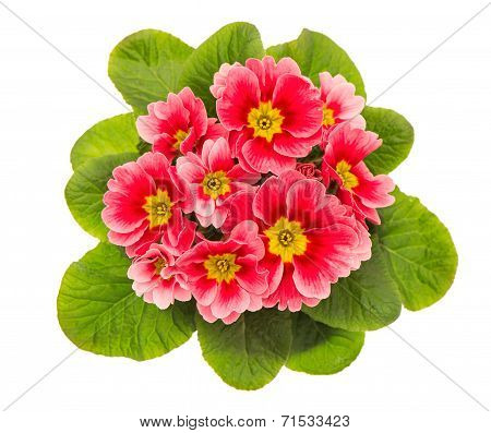 Pink Primulas Isolated On White Background