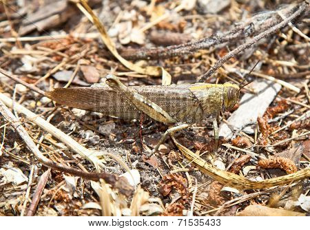Big grasshopper in its natural environment, Greece.