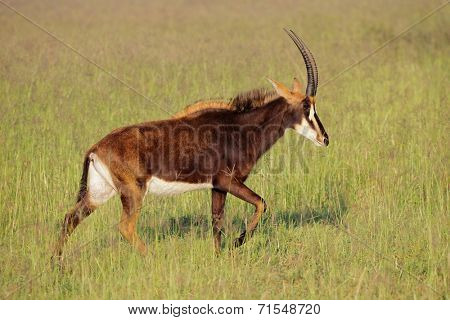 Female sable antelope (Hippotragus niger) in grassland, South Africa