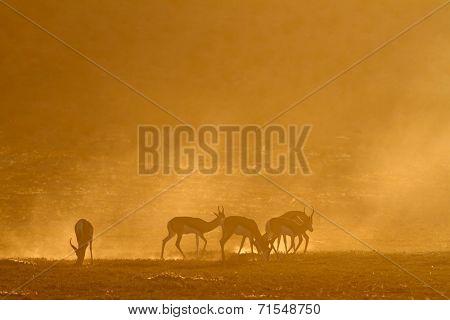 Springbok antelope (Antidorcas marsupialis) in dust at sunrise, Kalahari desert, South Africa