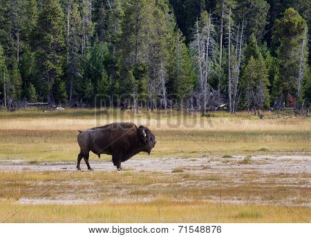 Senior North Amercian Bull Buffalo