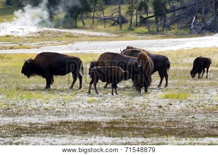 North American Female Buffalo And Her Offspring Showing Affection
