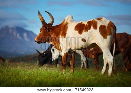 Zebu cows on a green meadow. Madagascar