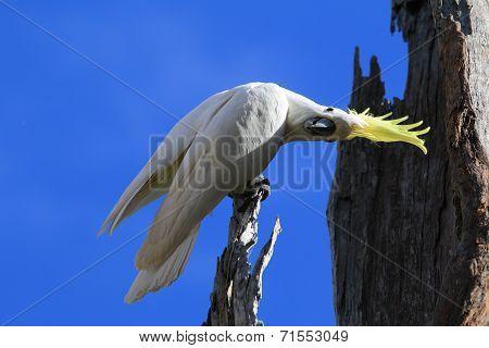 Curious Cockatoo