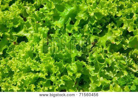Lettuce Background Green