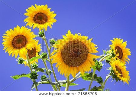 Large Flowers Of A Sunflower Against The Blue Sky.