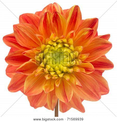 Beautiful Orange Dahlia Close-Up Isolated On White Background