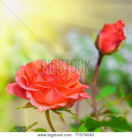 Beautiful Red Rose In Garden At Summer Day