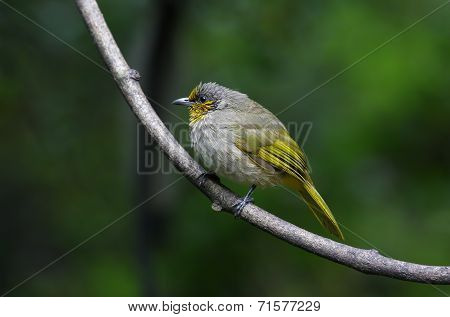 Stripe-throated Bulbul Pycnonotus Finlaysoni