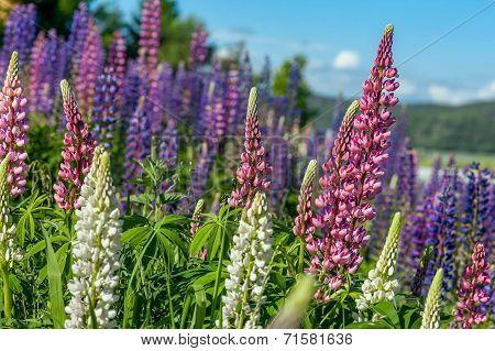 Beautiful flowering mountain in the alpine  floor.