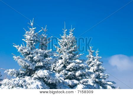 Forest In Winter - Snowy Firtrees