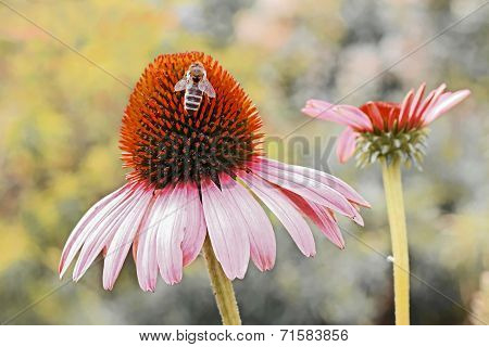 Echinacea Purpurea With Honeybee, Perennial Herb In Autumn