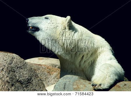 Polar - Ice Bear