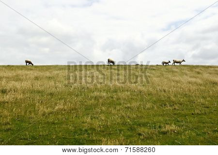Green Grass And Sheep