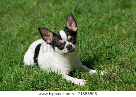 Chihuahua Lies On The Grass