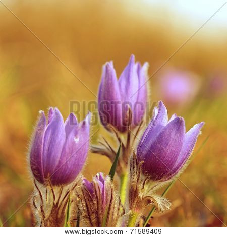 Pasque Flower blooming on spring meadow at the sunset - Pulsatilla grandis.