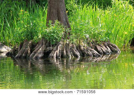 Bald Cypress Rootage