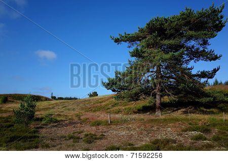 Heathland In Denmark