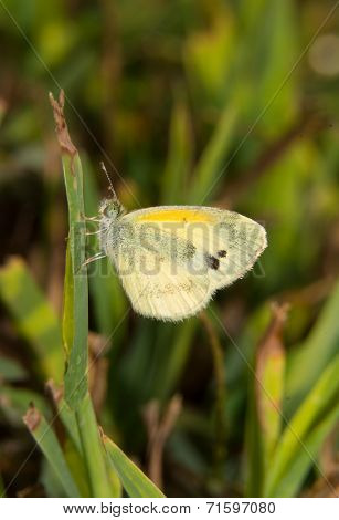 Tiny Dainty Sulphur butterfly, Nathalis iole, resting on a blade of grass in sunshine