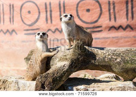 Meerkats Duo