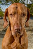 picture of vizsla  - golden color pure breed Hungarian vizsla dog looking straight into the camera - JPG