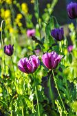 stock photo of opium  - Closed up violet opium flowers in botanical garden - JPG