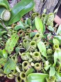 foto of nepenthes  - Nepenthes plants in gardens background   - JPG