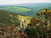 stock photo of lamb  - Little lamb in exmoor valley south england - JPG