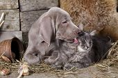 stock photo of puppy kitten  - Weimaraner puppy and kitten - JPG