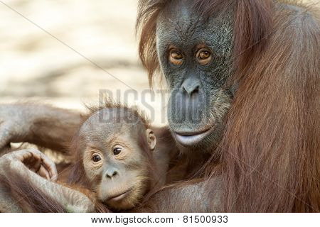 Orangutan Mother With Her Child.