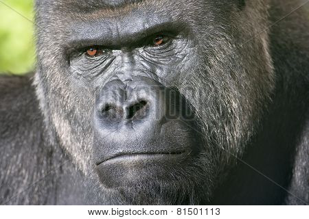 Severe Face Of A Silverback, Family Leader.