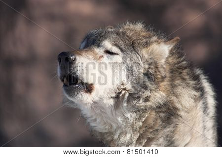 An old howling wolf male in the forest.