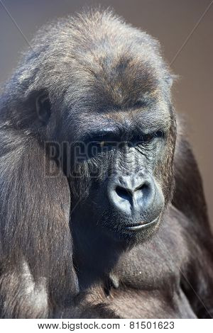 A young gorilla female with low state in the monkey family on blur background.