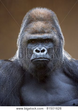 Portrait of a gorilla male, severe silverback, on light brown blur background.