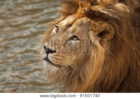 Face portrait of a beautiful young Asian lion on natural water background.