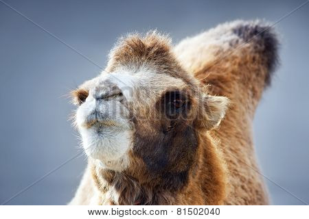 Closeup Portrait Of A Camel Female On Blue Sky Background. Eye To Eye Contact. Shallow Focus.