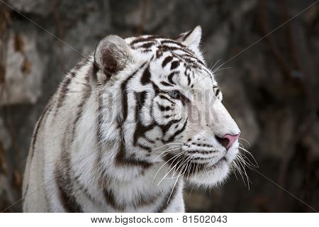 Closeup Portrait Of White Bengal Tiger On Dark Background.
