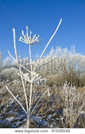 Frozen Wild Plant Covered Hoarfrost Rime