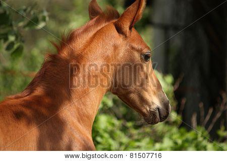 Chestnut Cute Horse Foal Portrait In Summer