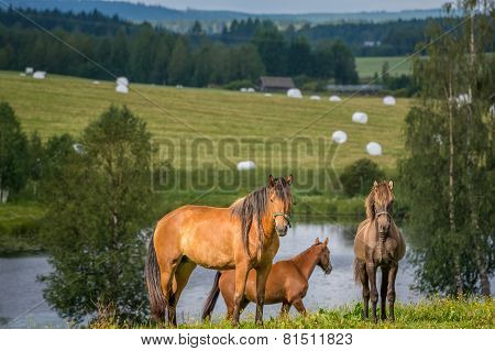 Horses in filed