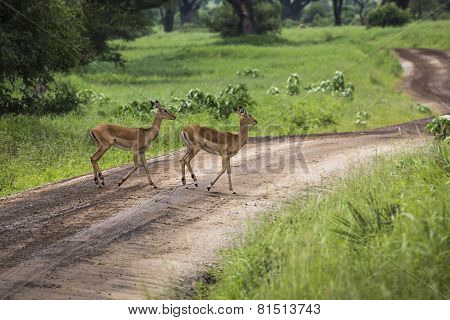Female Impala With Young Impala. Tarangire National Park - Wildlife Reserve In Tanzania, Africa