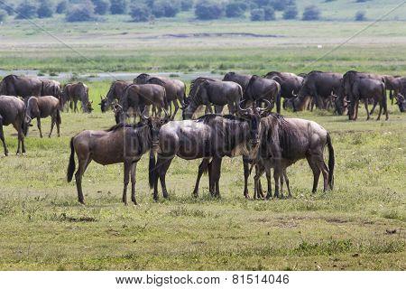 Masai Mara Wildebeest Migration In Tanzania, Africa.